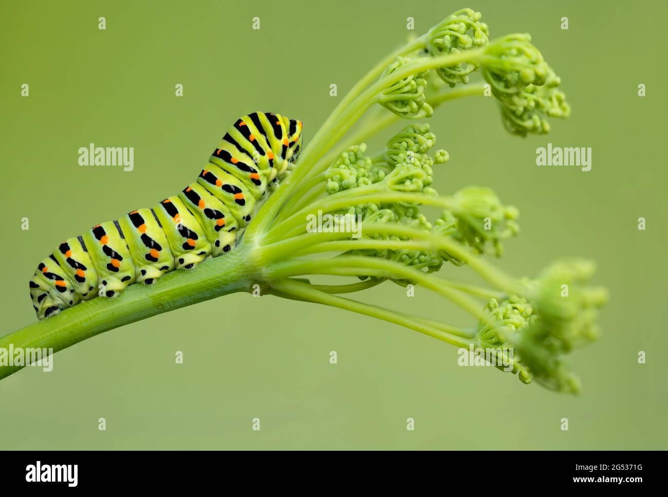 cierre extremo para la oruga de cola de peral del viejo mundo en hinojo (Papilio Machaon) Foto de stock