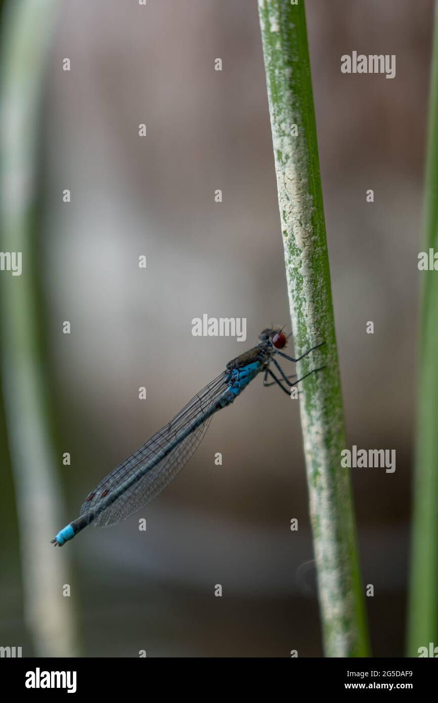 Dragonfly en el lago Dłużek en Mazury (Polonia) Foto de stock