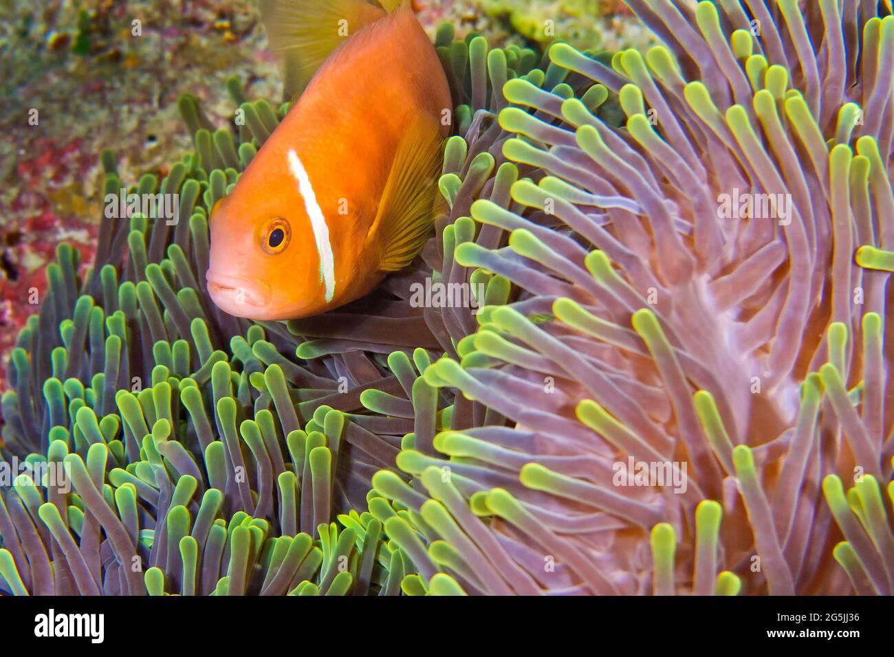 Anemonefish, Anemonefish, Anemone, Anemone, Heteractis magnifica, Arrecife de Coral, Atoll de Ari del Sur, Maldivas, Océano Índico, Asia Foto de stock