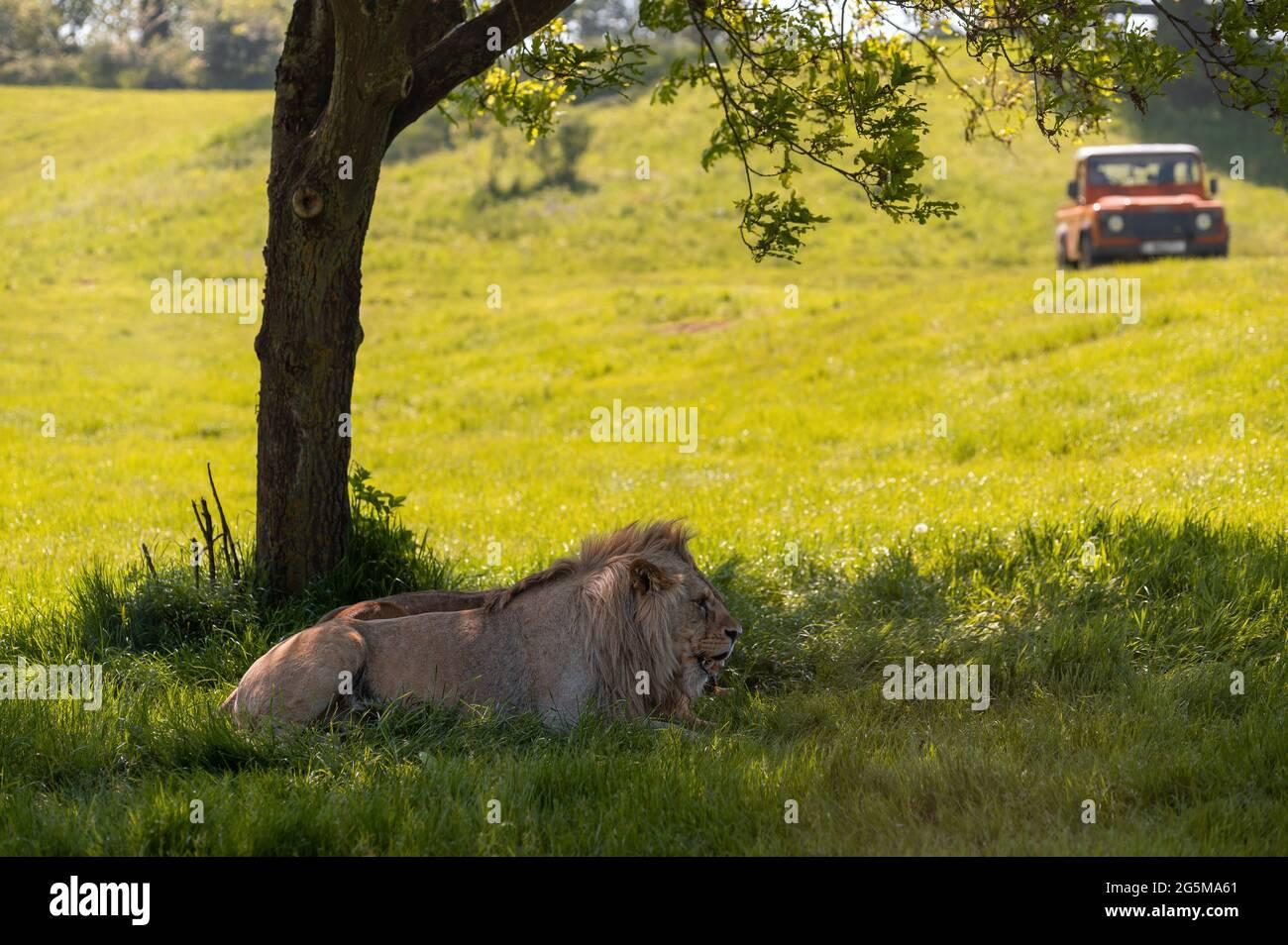 Leones descansando bajo una sombra de árbol con vehículo todoterreno 4x4 en el fondo. Foto de stock
