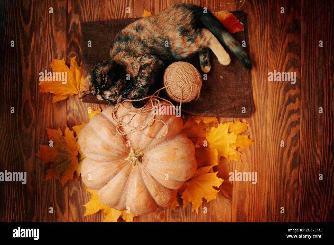 El gatito pequeño está jugando con una bola de hilo en una alfombra marrón. Calabaza madura grande, gato lindo y hojas amarillas de otoño sobre un fondo de madera. Foto de stock