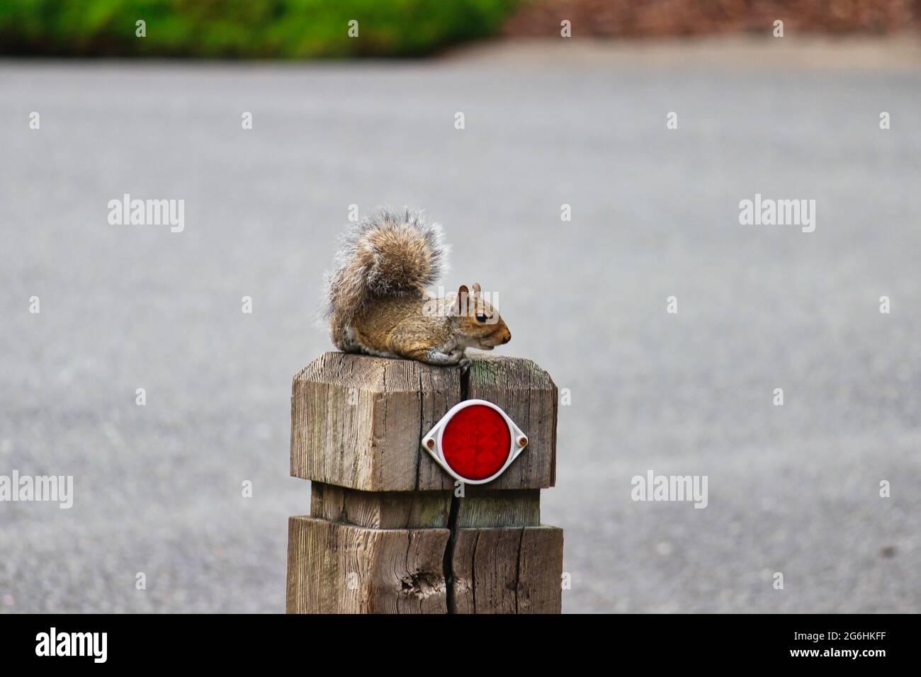 Ardilla gris oriental sentada en un poste Foto de stock