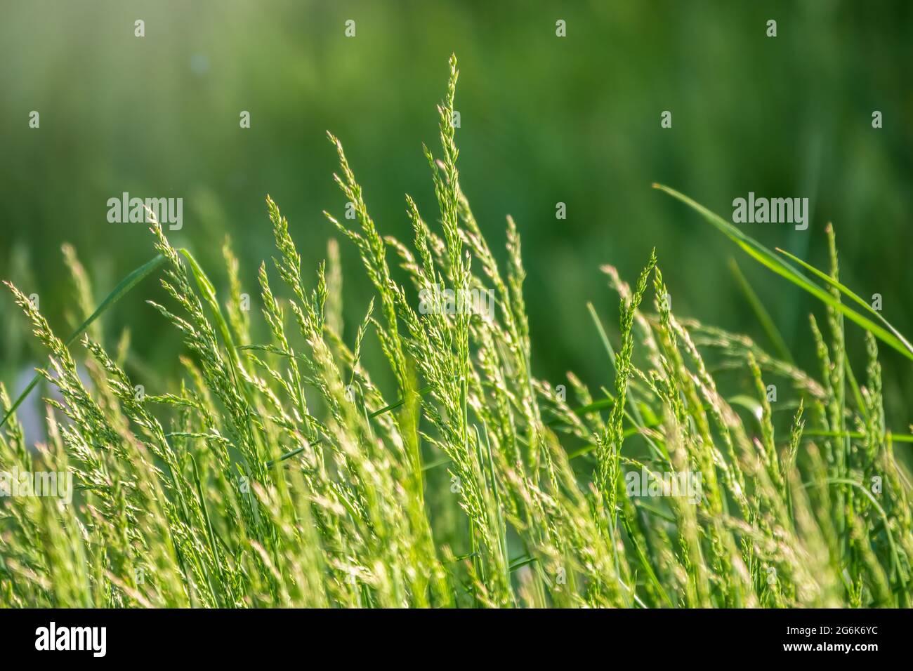 Vista del concepto de jardín de césped utilizado para hacer suelos verdes, césped para entrenamiento de campo de fútbol, campos de golf de césped verde patrón de césped textura backgrou Foto de stock