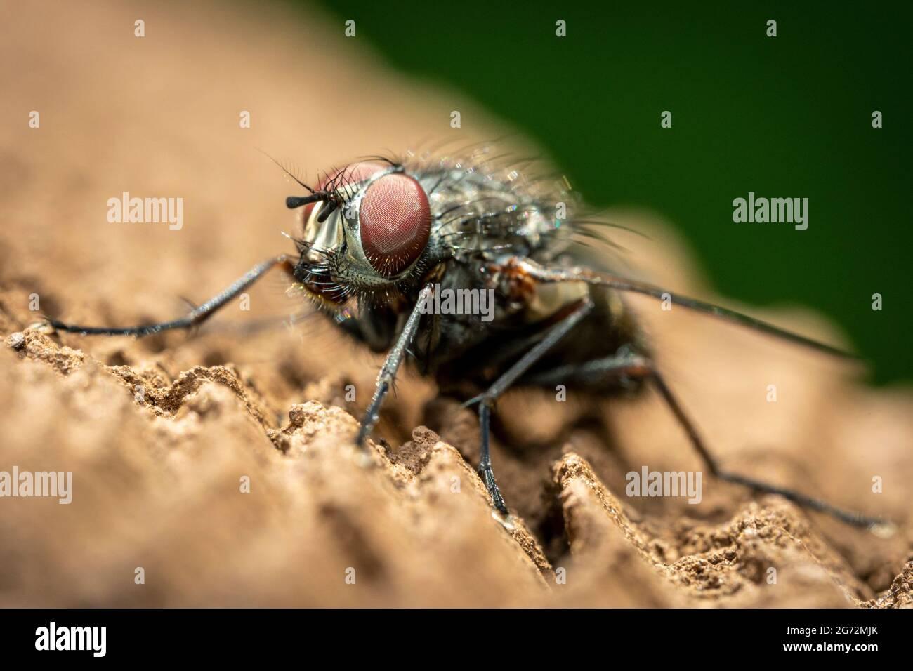 Un primer plano de una mosca con grandes ojos compuestos rojos y un cuerpo negro peludo. Foto de stock