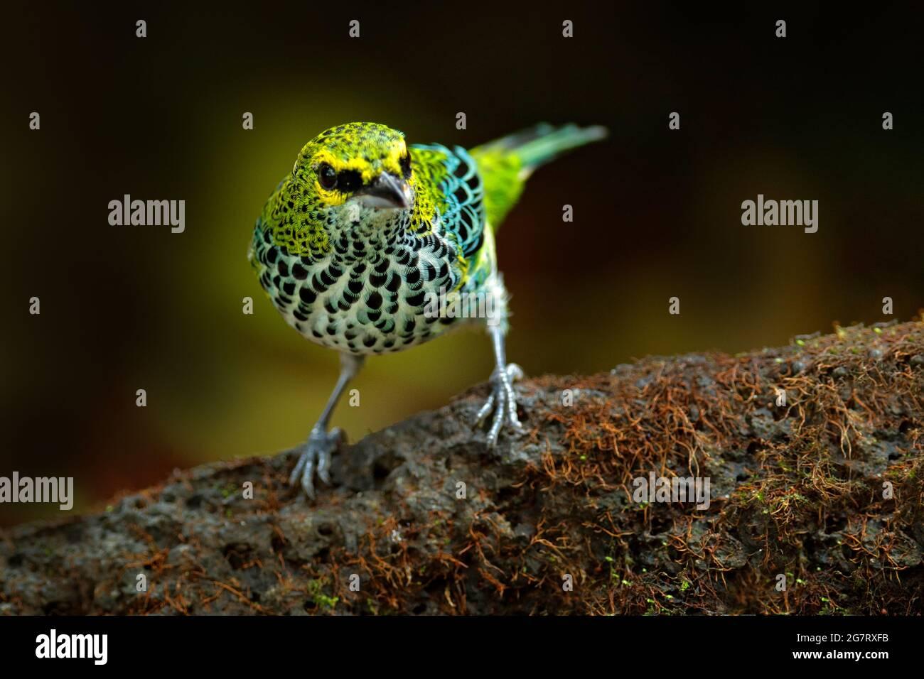Tanager de Costa Rica. Tanager moteado, Tangara guttata, sentado en la piedra marrón. Aves tropicales en el hábitat natural. Vida silvestre en Costa Rica. Y Foto de stock