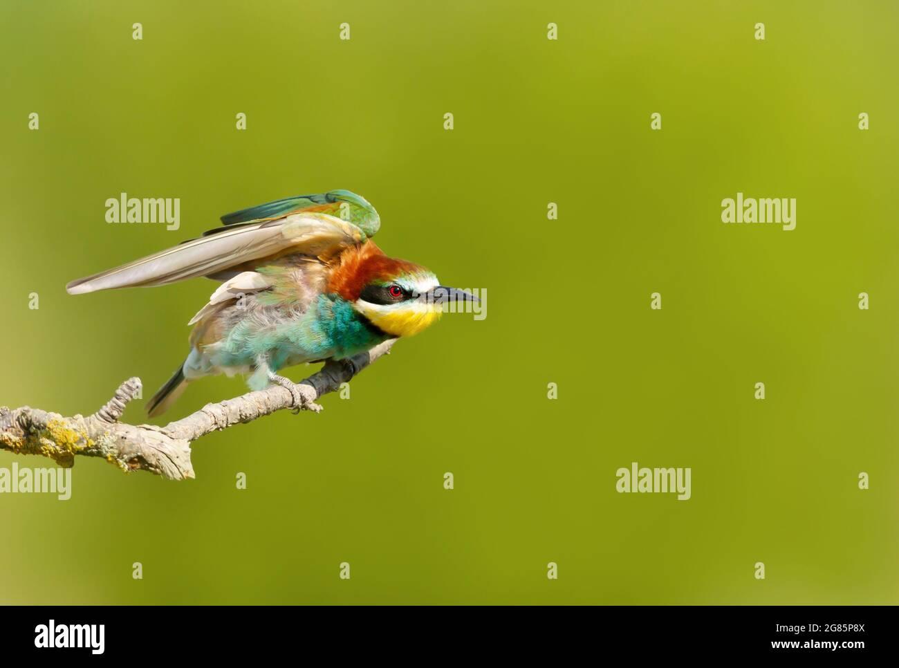 Retrato de un Bee-eater encaramado en verano, Bulgaria. Foto de stock