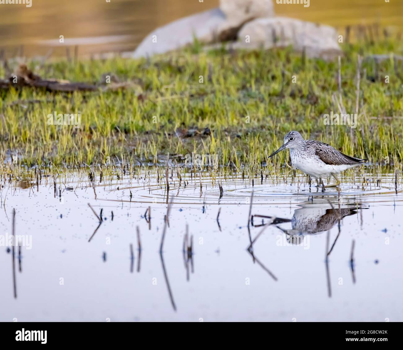 Greenshank común (Tringa nebularia), estanque Dehtar, Bohemia meridional, República Checa Foto de stock