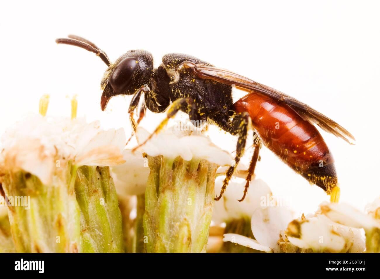 Abeja de cuco, Abeja de suéat, Abeja de Halictid (Especodos albilabilis, Especodos fuscipennis), en yarrow, Austria Foto de stock