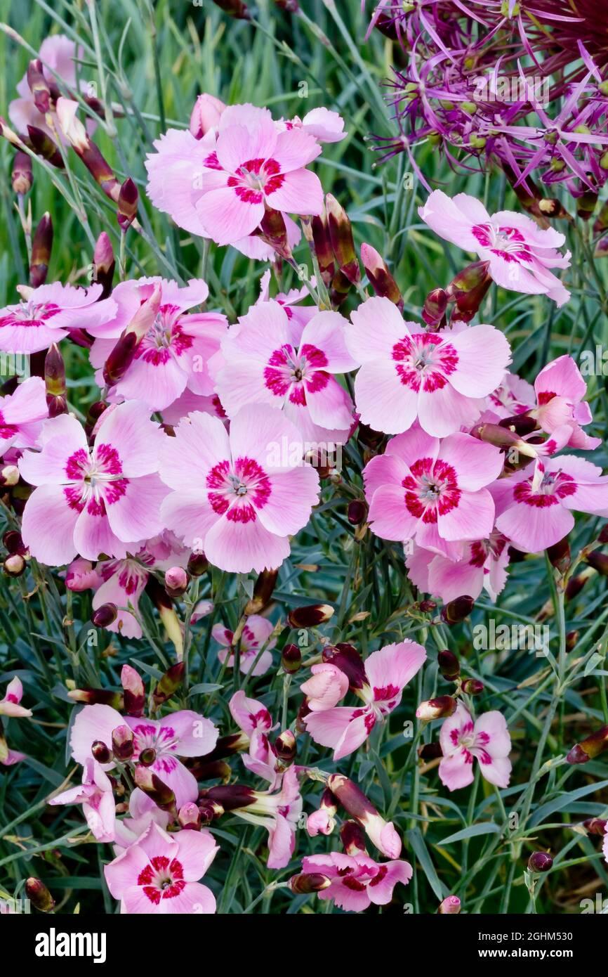 Dianthus alpinus 'Allwoodii' Foto de stock