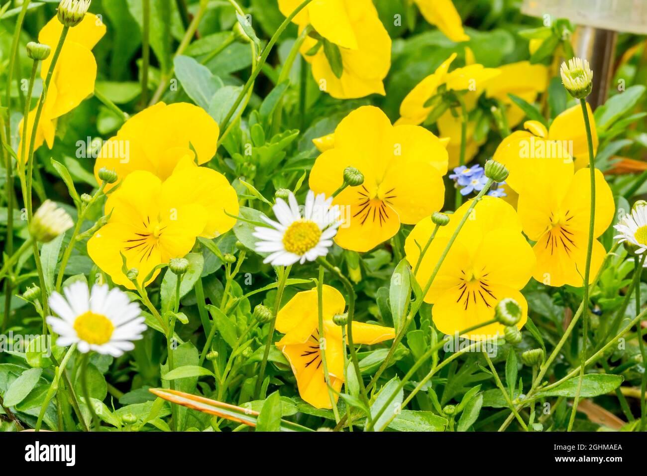 Viola tracante 'Sol alpino' Foto de stock
