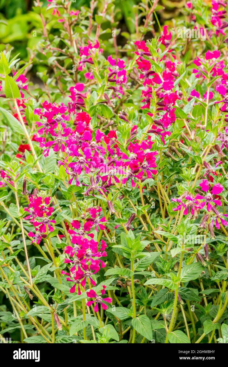 Cuphea llavea var. Miniata Foto de stock