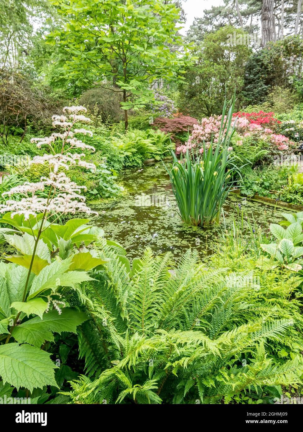 Jardin aquatique, Rhododendron 'Horizon Monarch', Rhododendrons 'Tiziano Beauty', Parc Floral de Vincennes, París, Francia Foto de stock