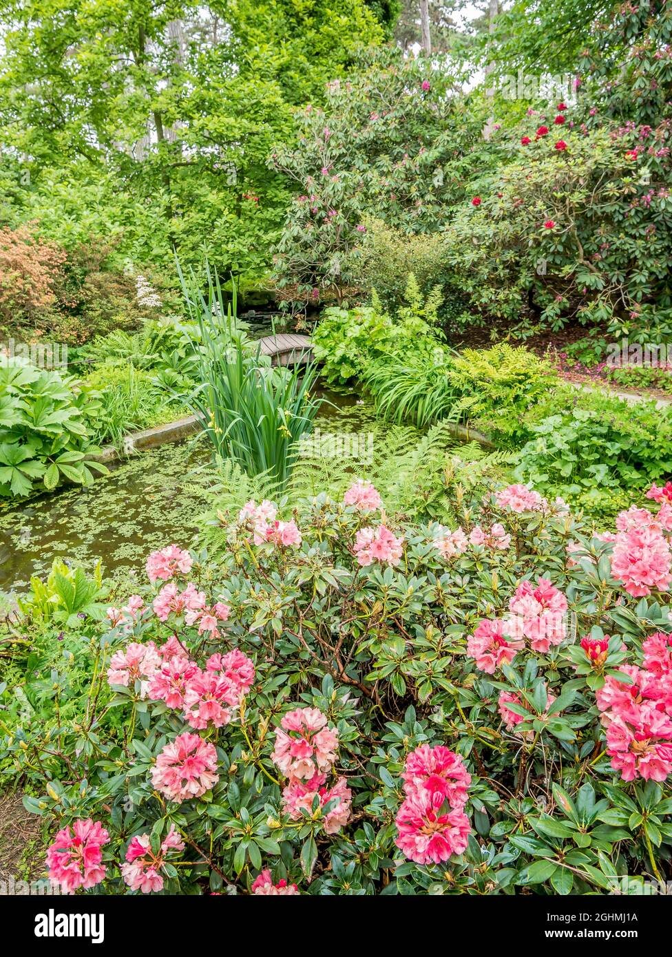 Rhododendron 'Horizon Monarch', Parc Floral de Vincennes, París, Francia Foto de stock