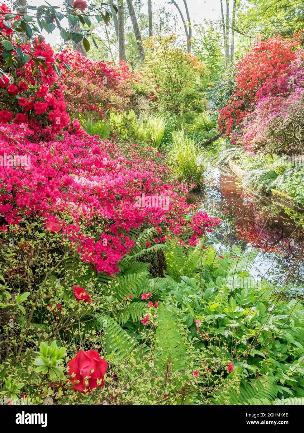 Rododendros 'Addy Wery', Rhododendron 'Maxwellii', Parc Floral de Vincennes, París, Francia Foto de stock
