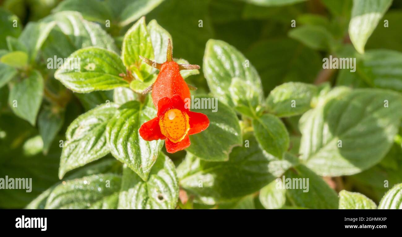 Nematanthodes de Seemannia 'Evita' Foto de stock
