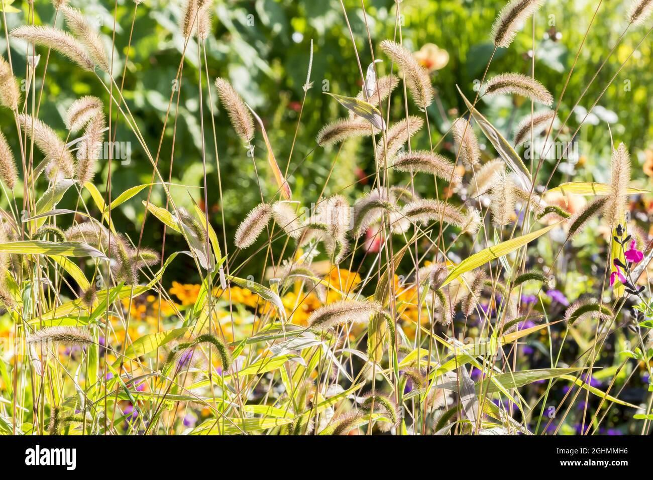 Setaria atropurpurea viridis 'Caramel' Foto de stock
