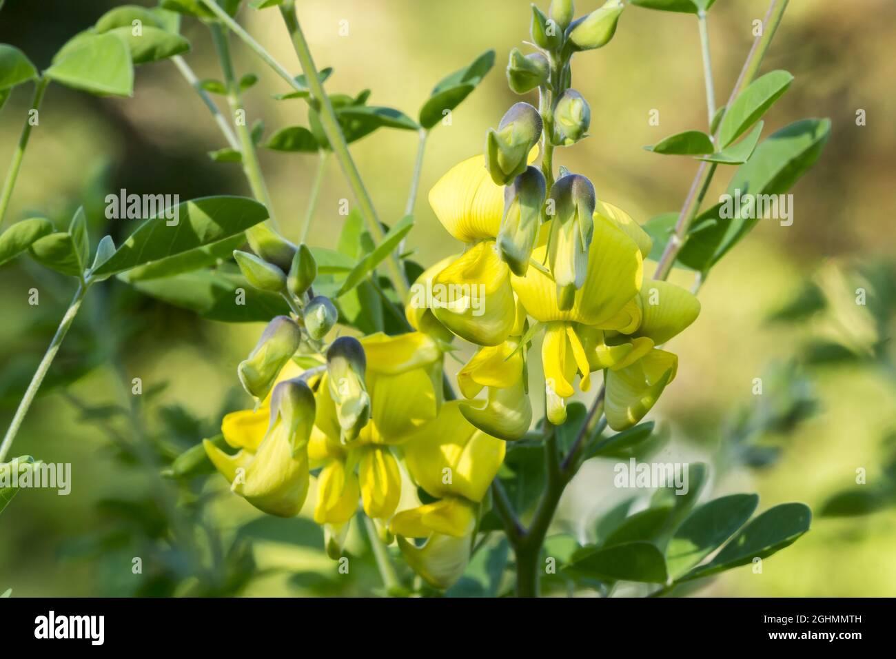 Crotalaria capensis Foto de stock