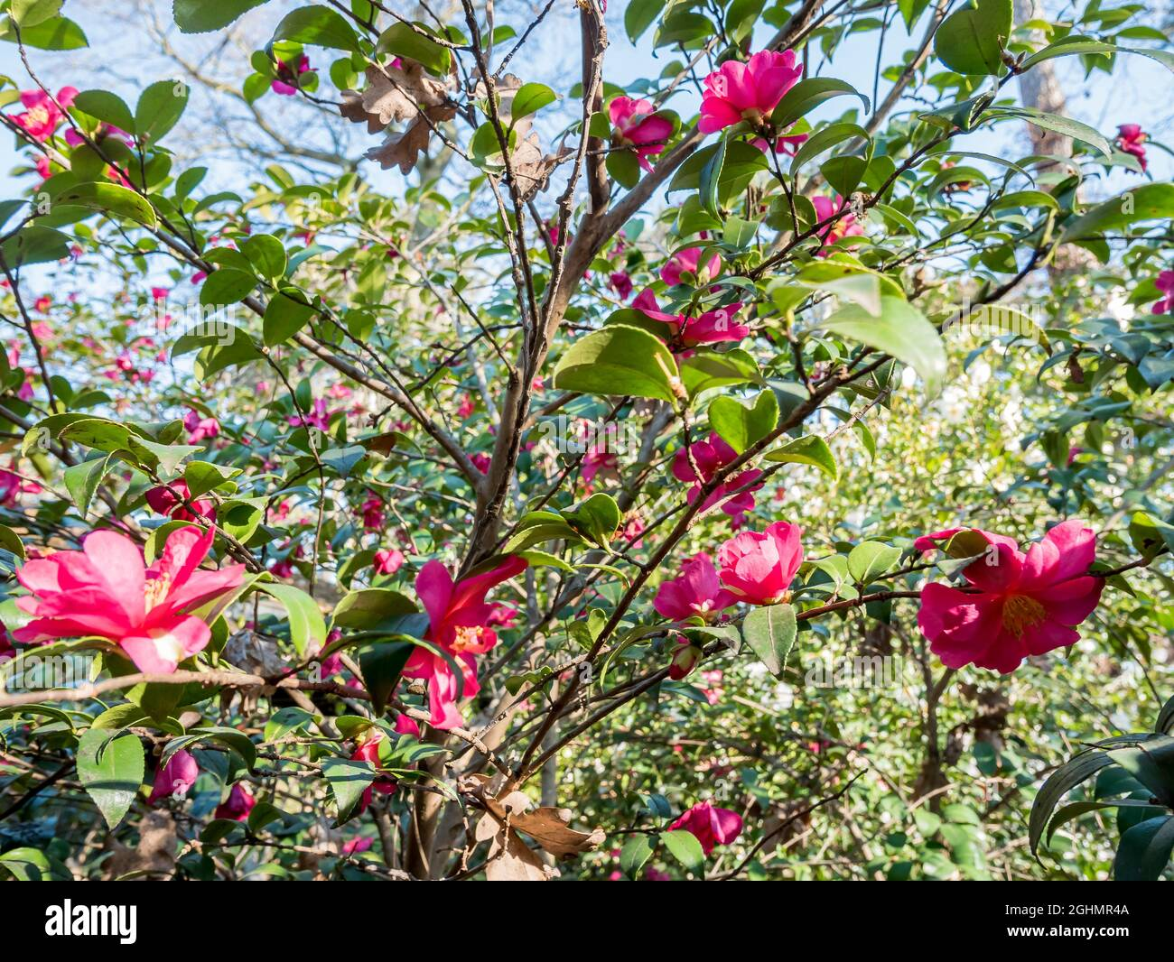 Camellia hiemalis 'Kanjiro' Foto de stock