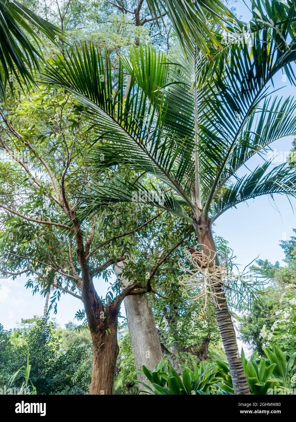 Rhopalostylis baueri Foto de stock
