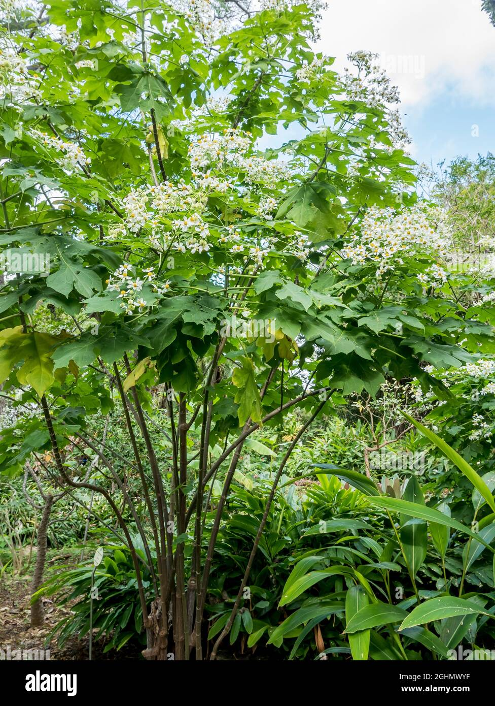 Montanoa hibiscifolia Benth Foto de stock