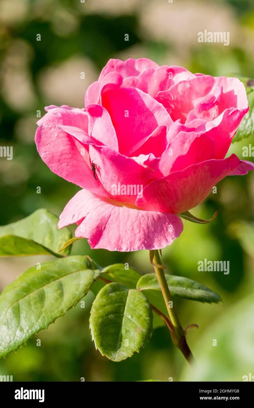 Rosa 'The Mc Cartney Rose' Breeder : Meilland (FRA) 1992 Foto de stock