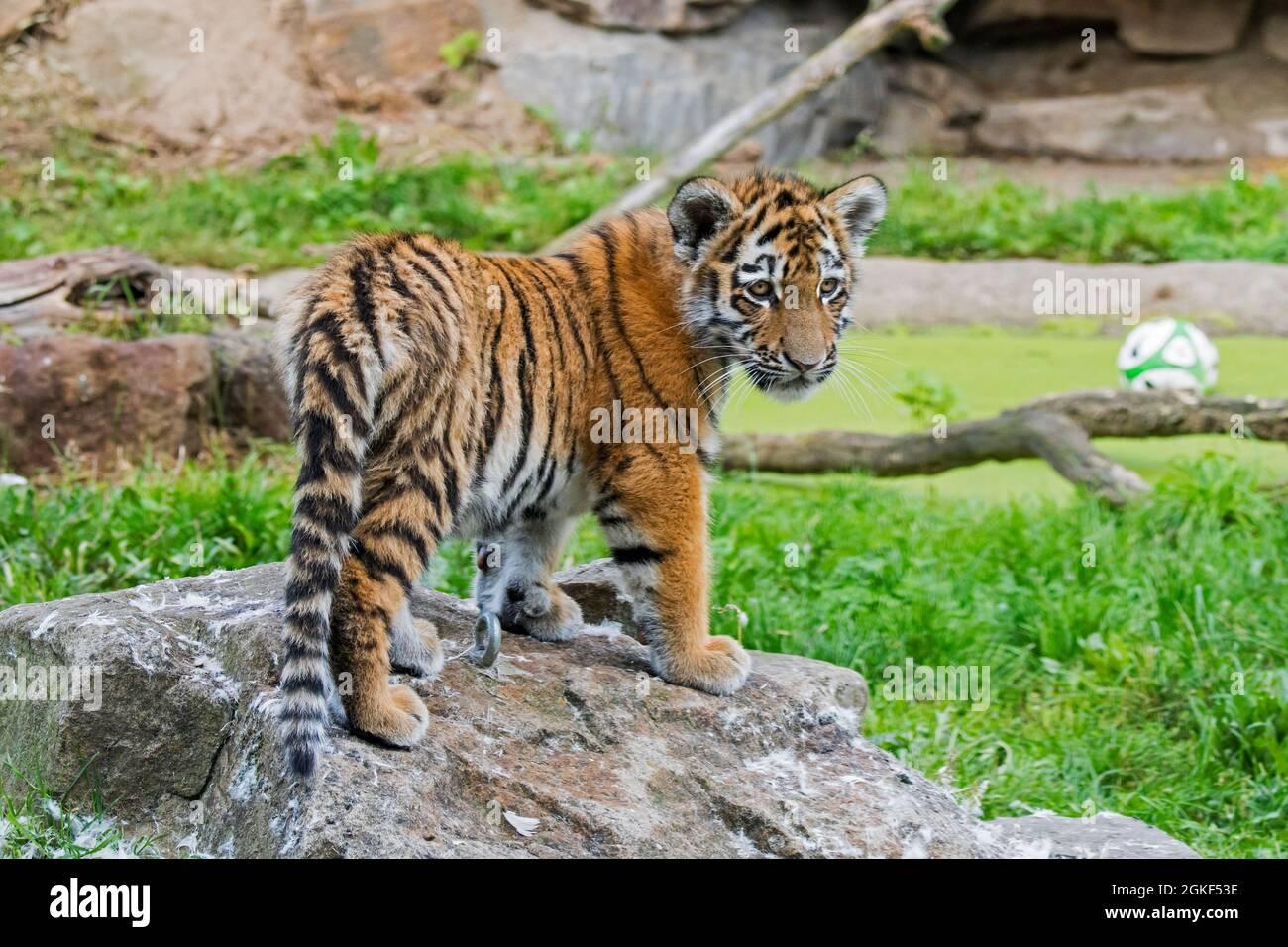 Tigre siberiano (Panthera tigris altaica) cub en el zoológico de Duisburg, jardín zoológico en Renania del Norte-Westfalia, Alemania Foto de stock