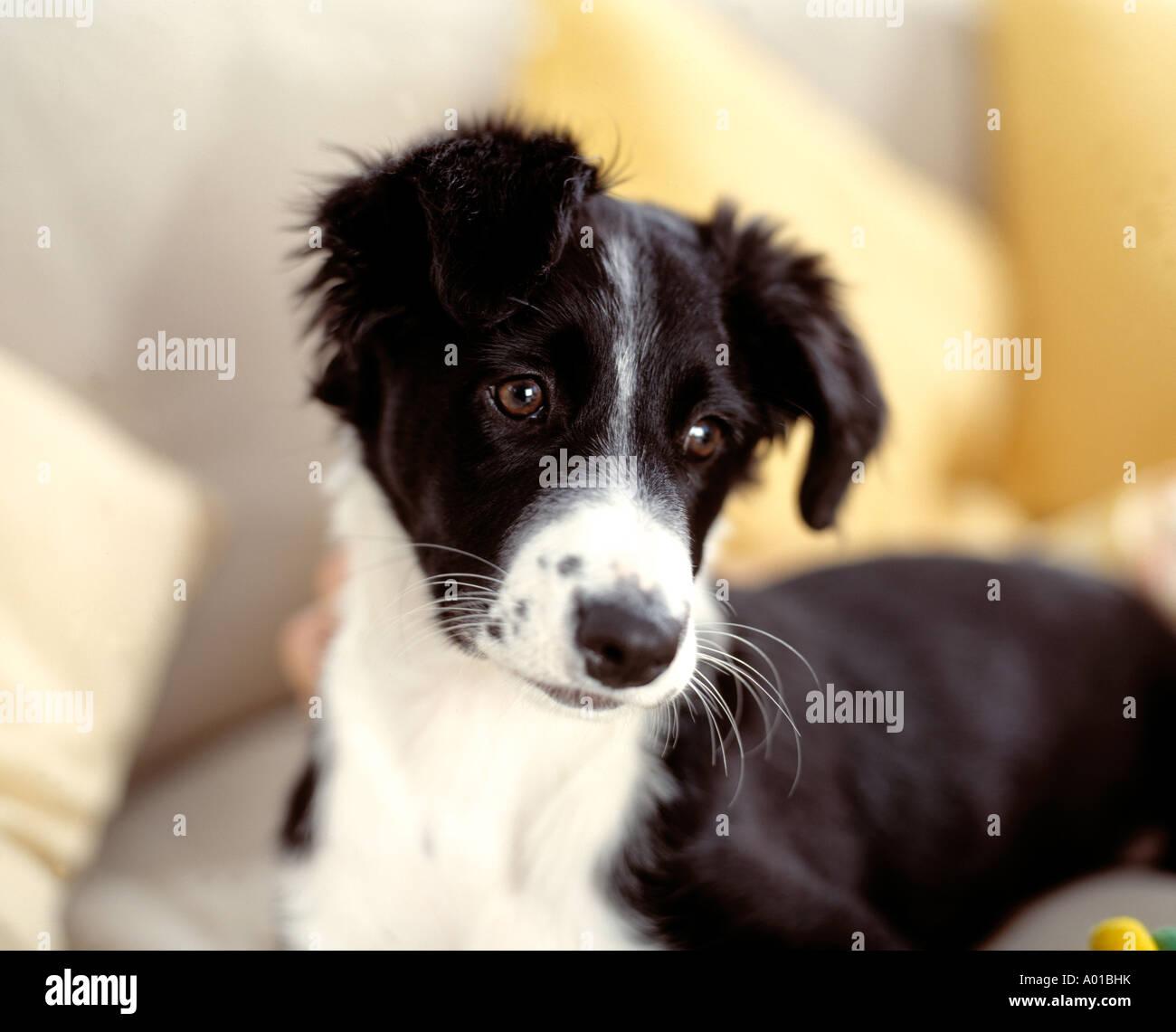 Frontera cachorros collie Imagen De Stock