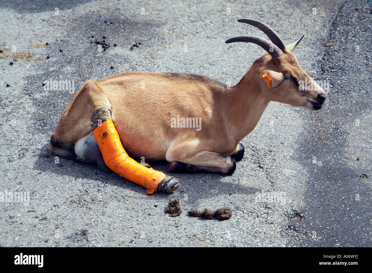 Una cabra con una pierna vendada en Les Lindarets Foto de stock