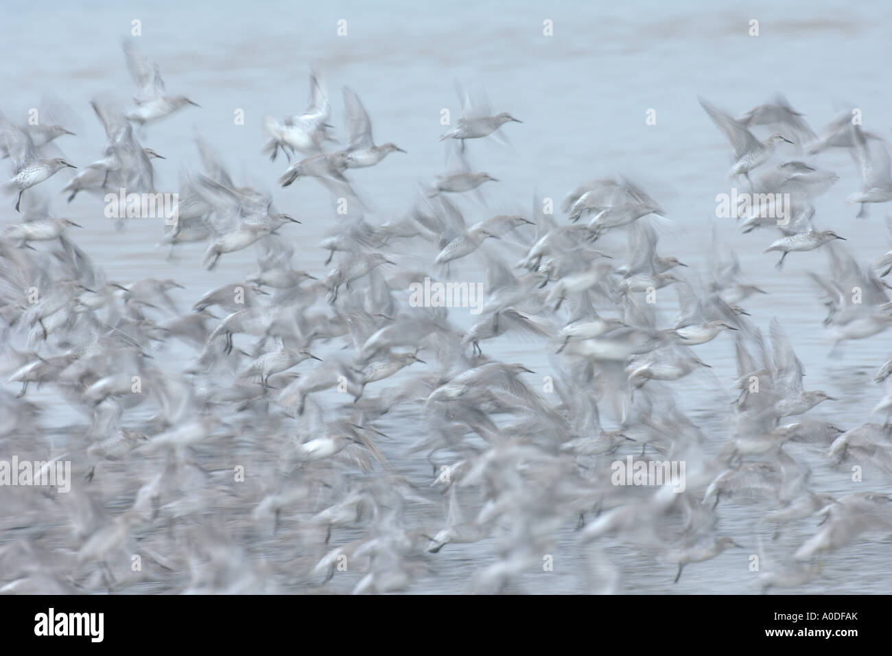 Bandada de Plumaje de invierno nudo Calidris canutus en vuelo reserva RSPB Snettisham Norfolk Inglaterra Octubre Imagen De Stock