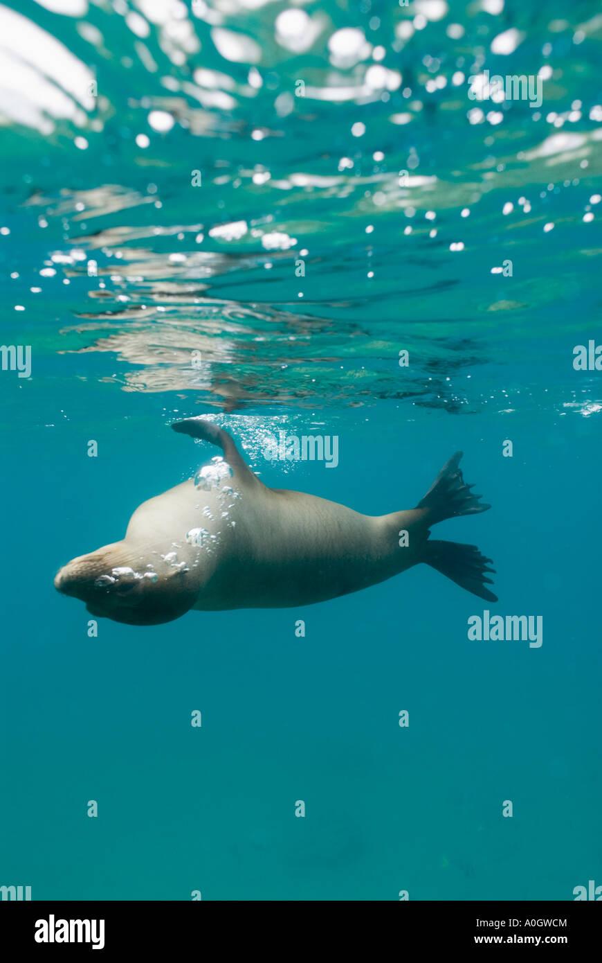 Lobo de mar de Galápagos (Zalophus wollebaeki) hembra submarinas, Galapagos Ecuador Imagen De Stock
