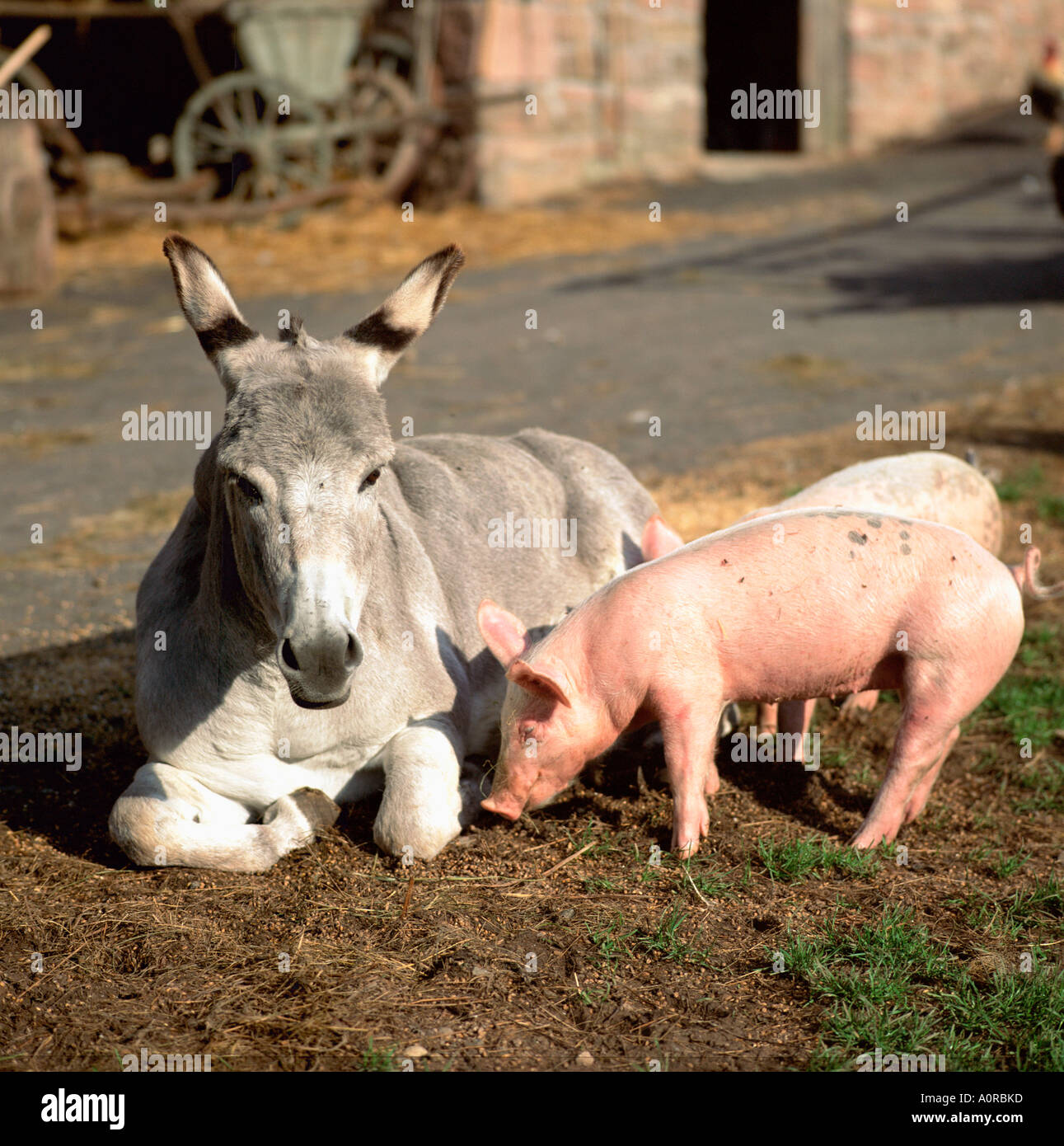 Donkey And Pig Imágenes De Stock & Donkey And Pig Fotos De Stock - Alamy