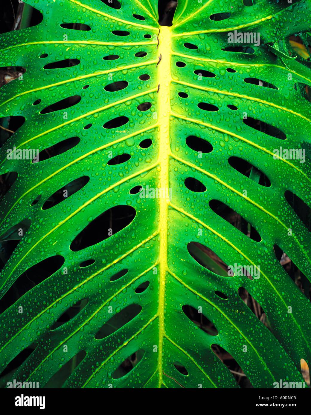 Planta Monstera en lluvia Iao Valley State Park Maui Hawaii Imagen De Stock