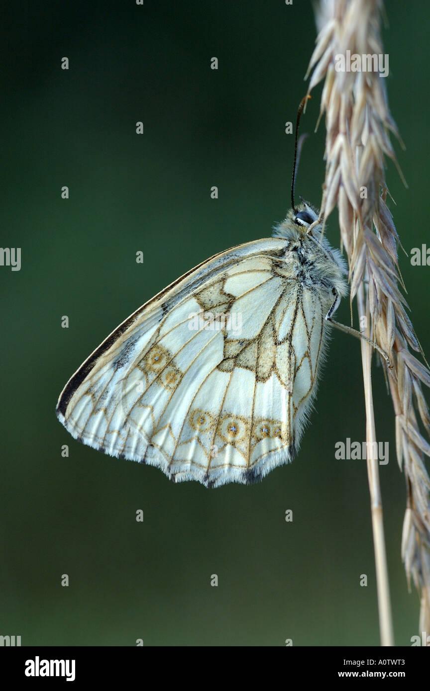 Mariposa de mármol blanco descansando en un tallo de hierba en Greenham Common Imagen De Stock