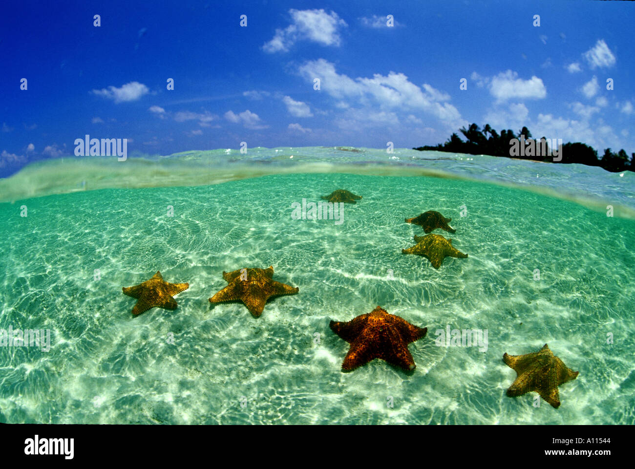 Un pelotón de amortiguar las estrellas de mar aparecen en una vista dividida que muestra en el fondo una isla frente a la costa de Belice Foto de stock