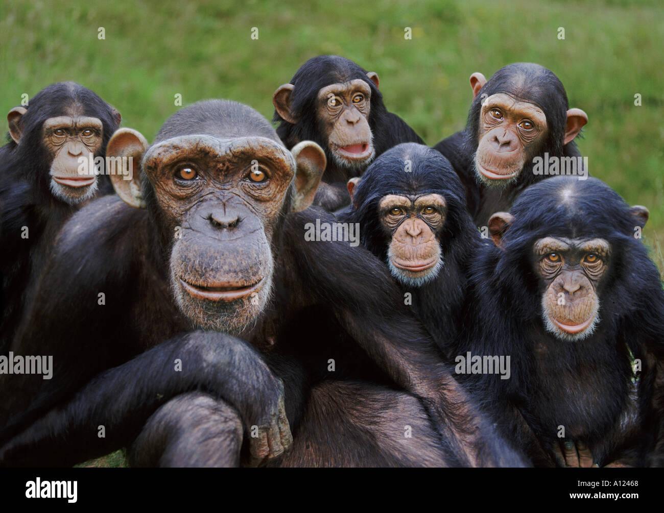 Chimpancés huérfanos Monkey World, centro de rescate de monos UK Imagen De Stock