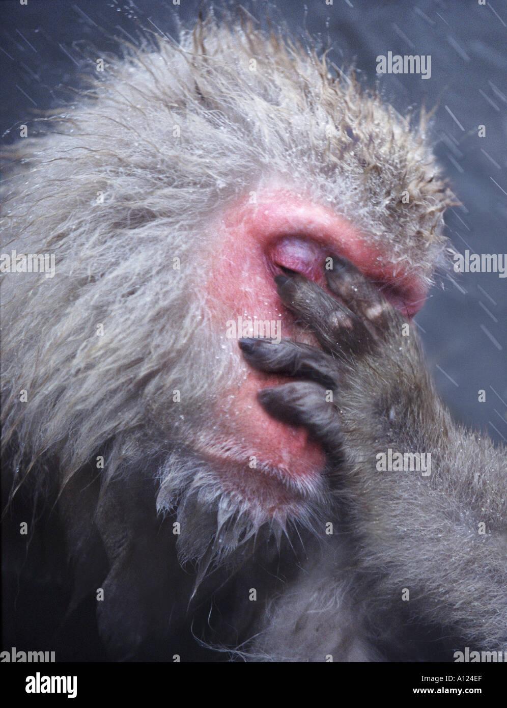 Mono de nieve Parque Nacional Jigokudani Japón Imagen De Stock