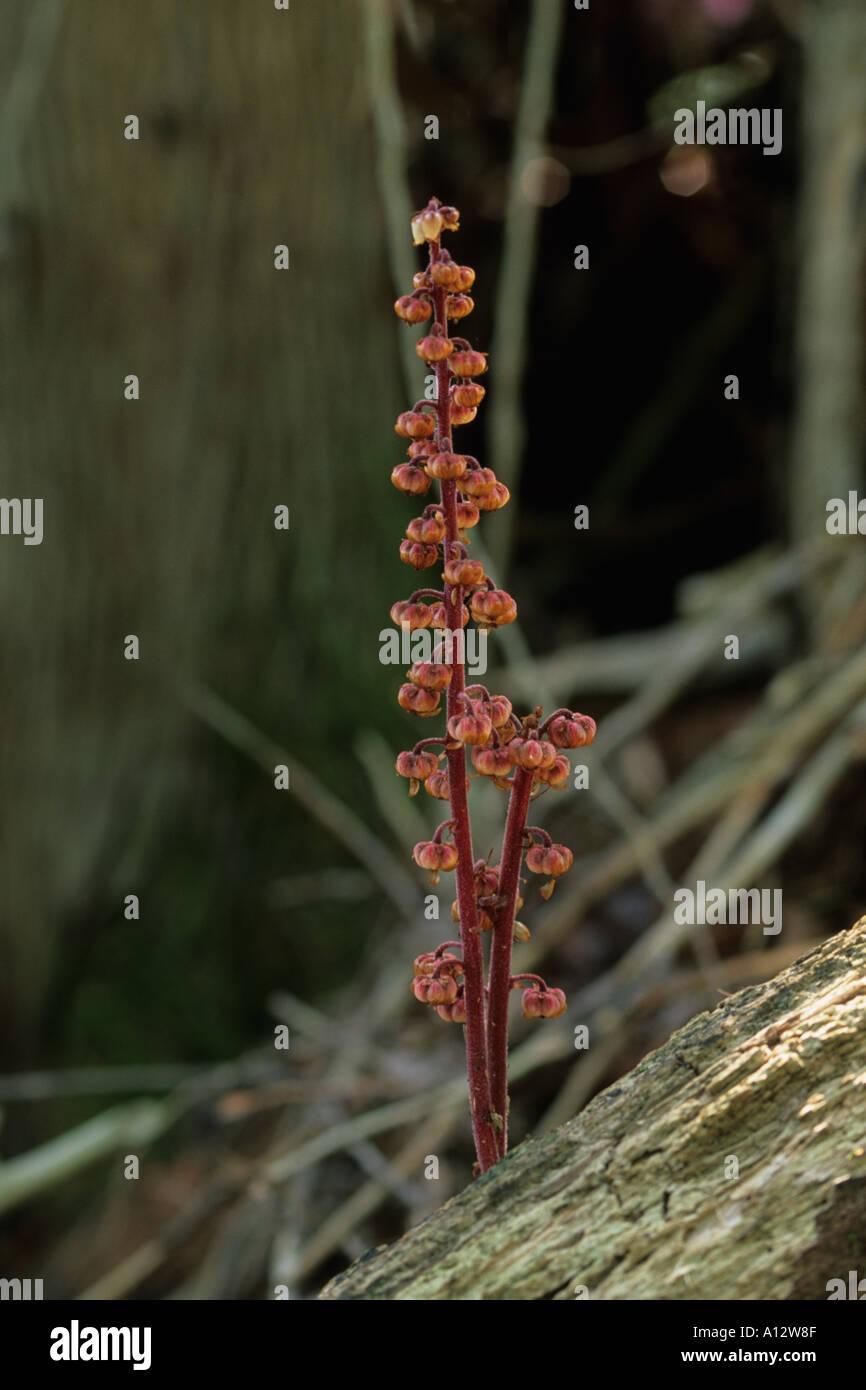 Pinedrops Foto de stock