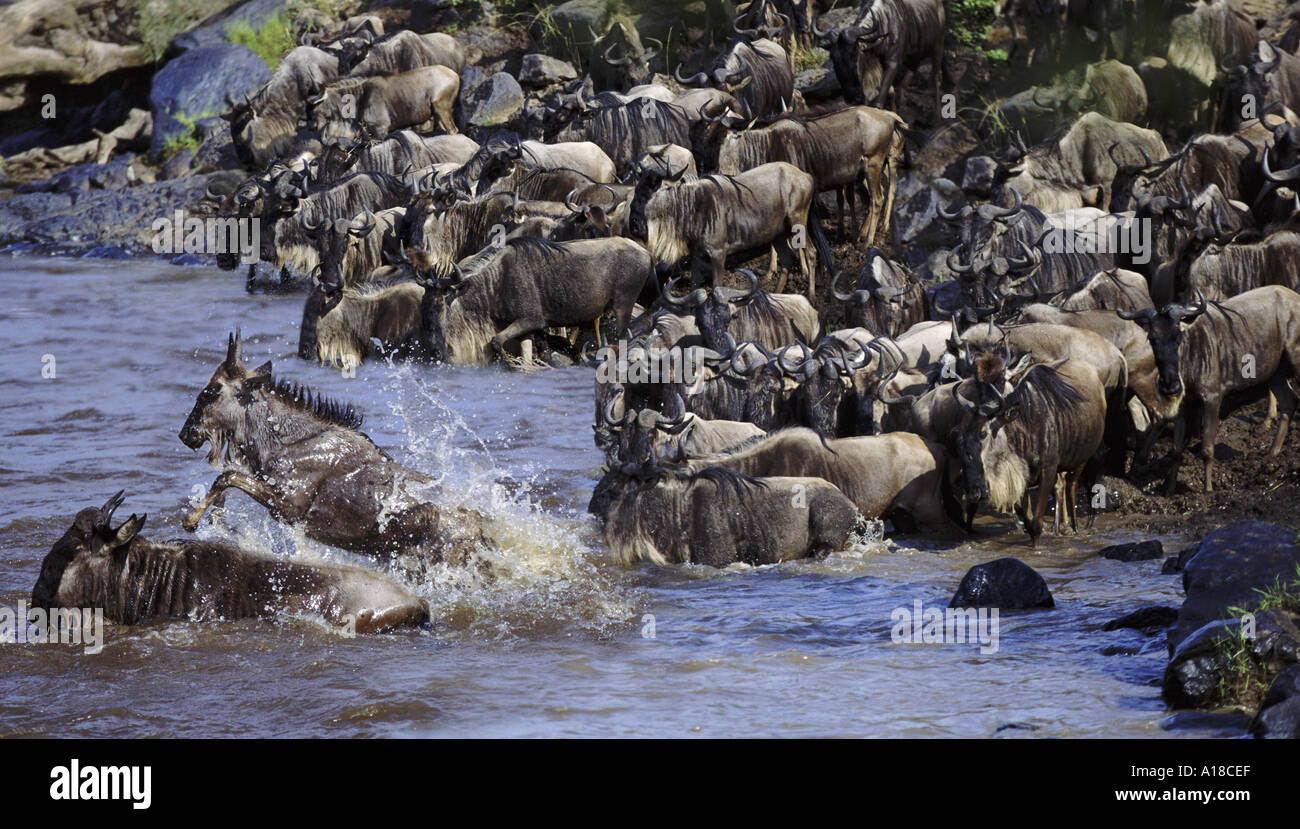 Los ñus cruzando el río Mara Kenya durante la migración. Foto de stock