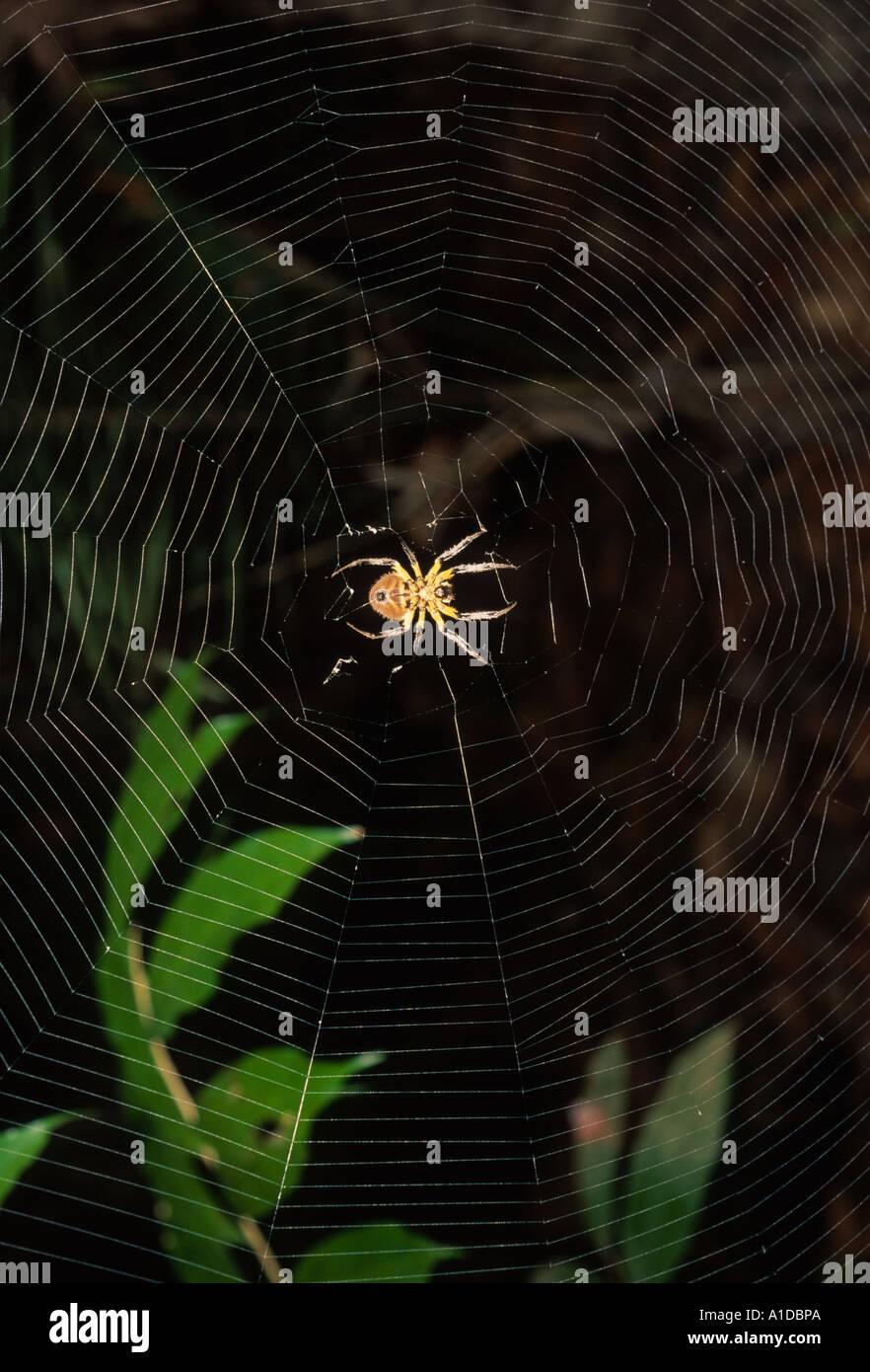 Tejido de Orb web spider Imagen De Stock