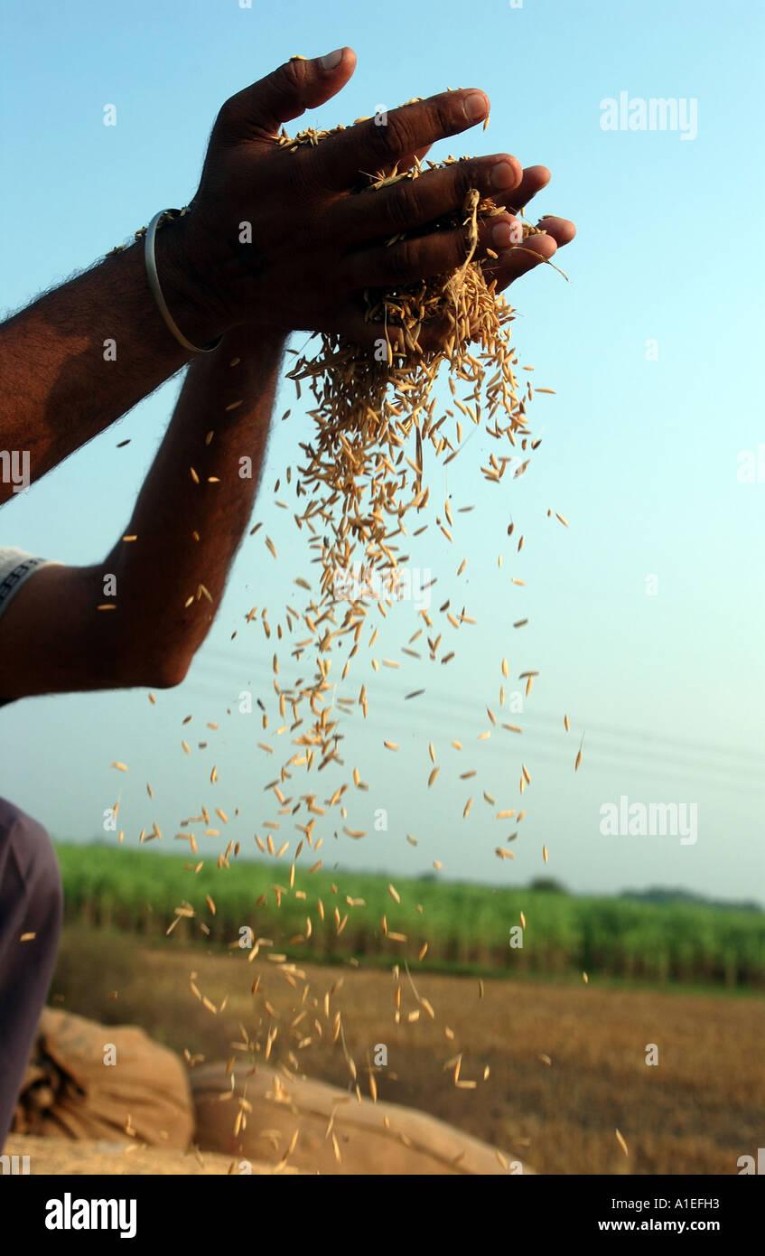 El Comercio Justo Fairtrade agricultor con su arroz en sus campos de arroz en el norte de la India. Imagen De Stock