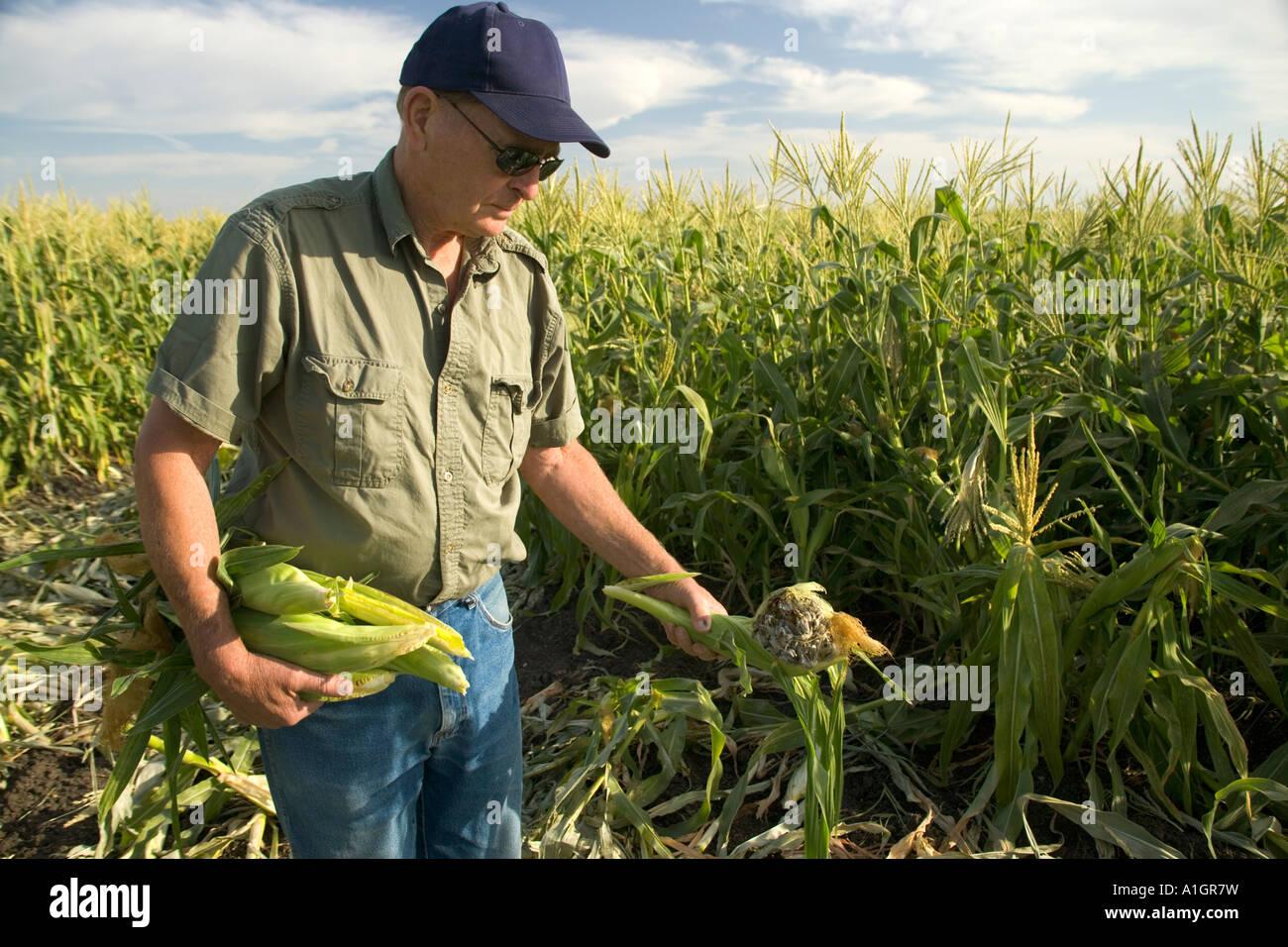 Inspección de agricultor en el campo de maíz dulce, muestra la obscenidad Gals. Foto de stock