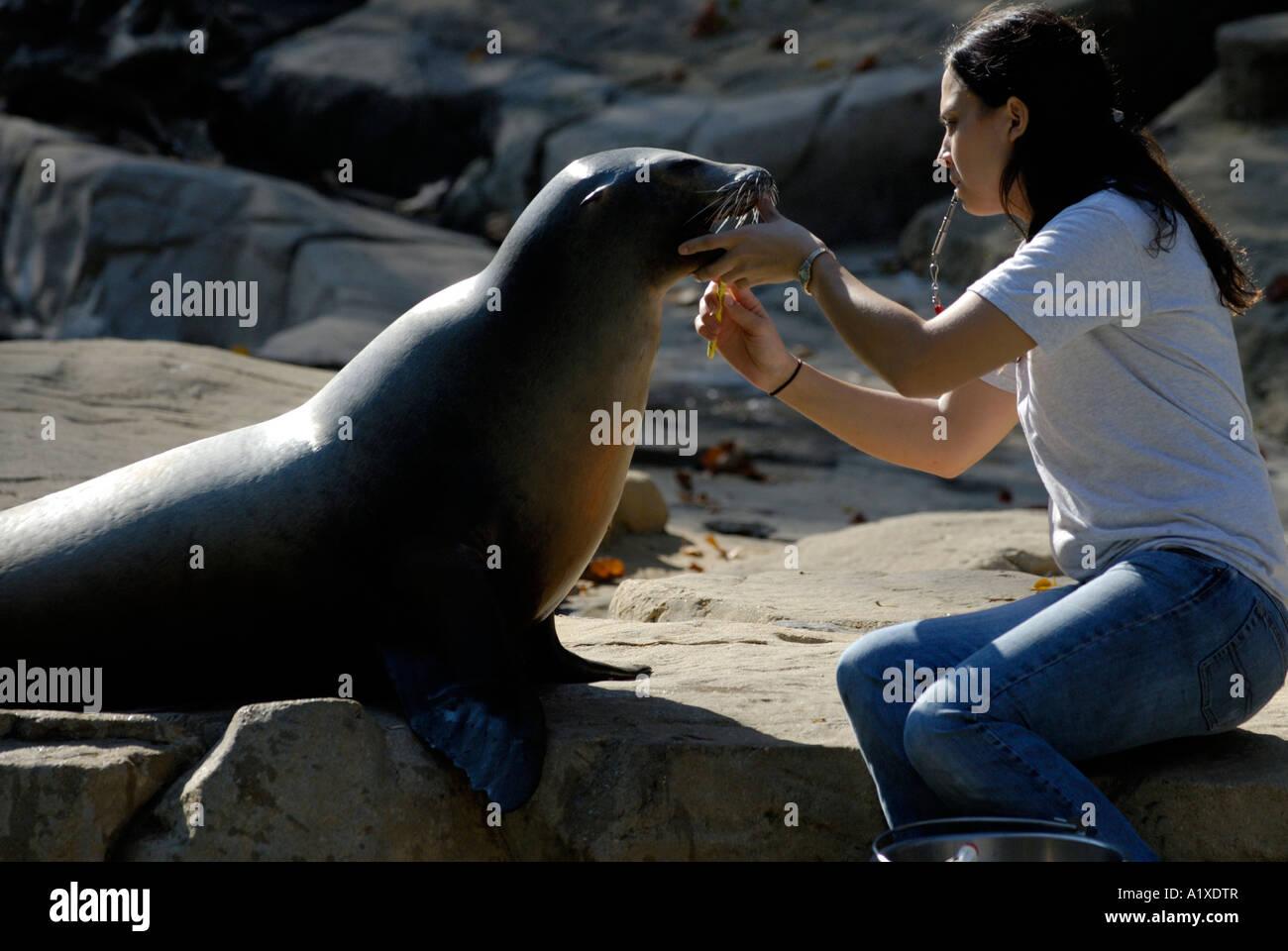 Un león marino de California Zalophus californianus tener sus dientes limpia por un handler en el Zoológico Imagen De Stock