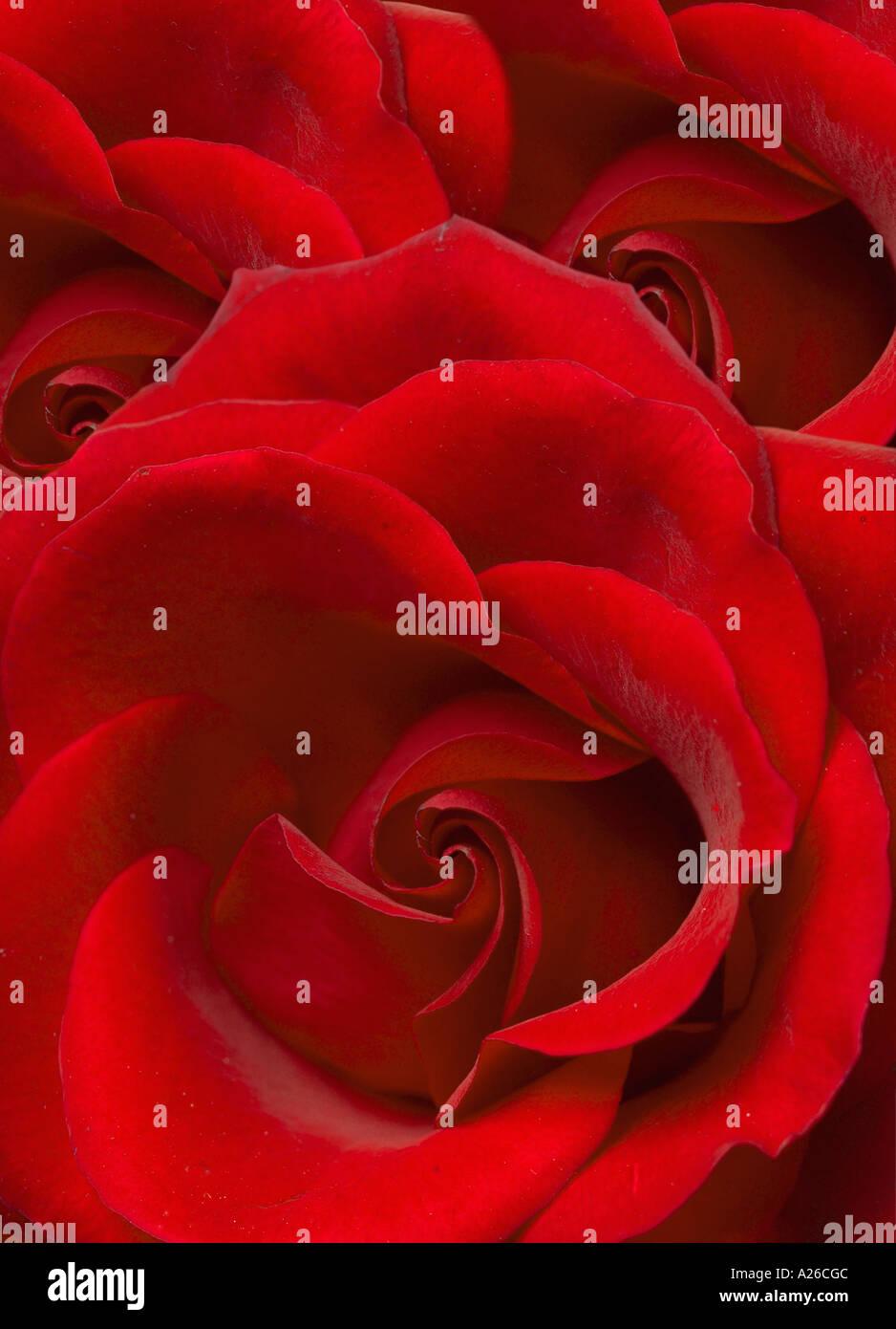 Primer plano rosa Imagen De Stock