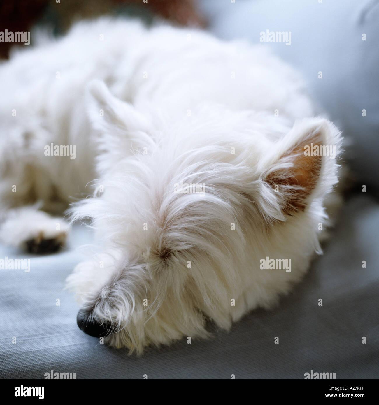 West Highland Terrier blanco duerme en un sofá Imagen De Stock