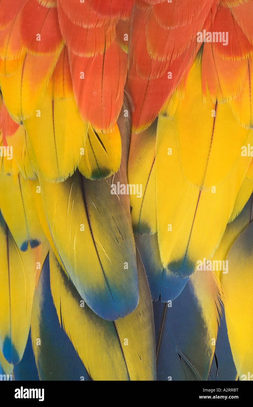 Guacamaya Roja Aro macao cerca de plumas de América del Sur Imagen De Stock