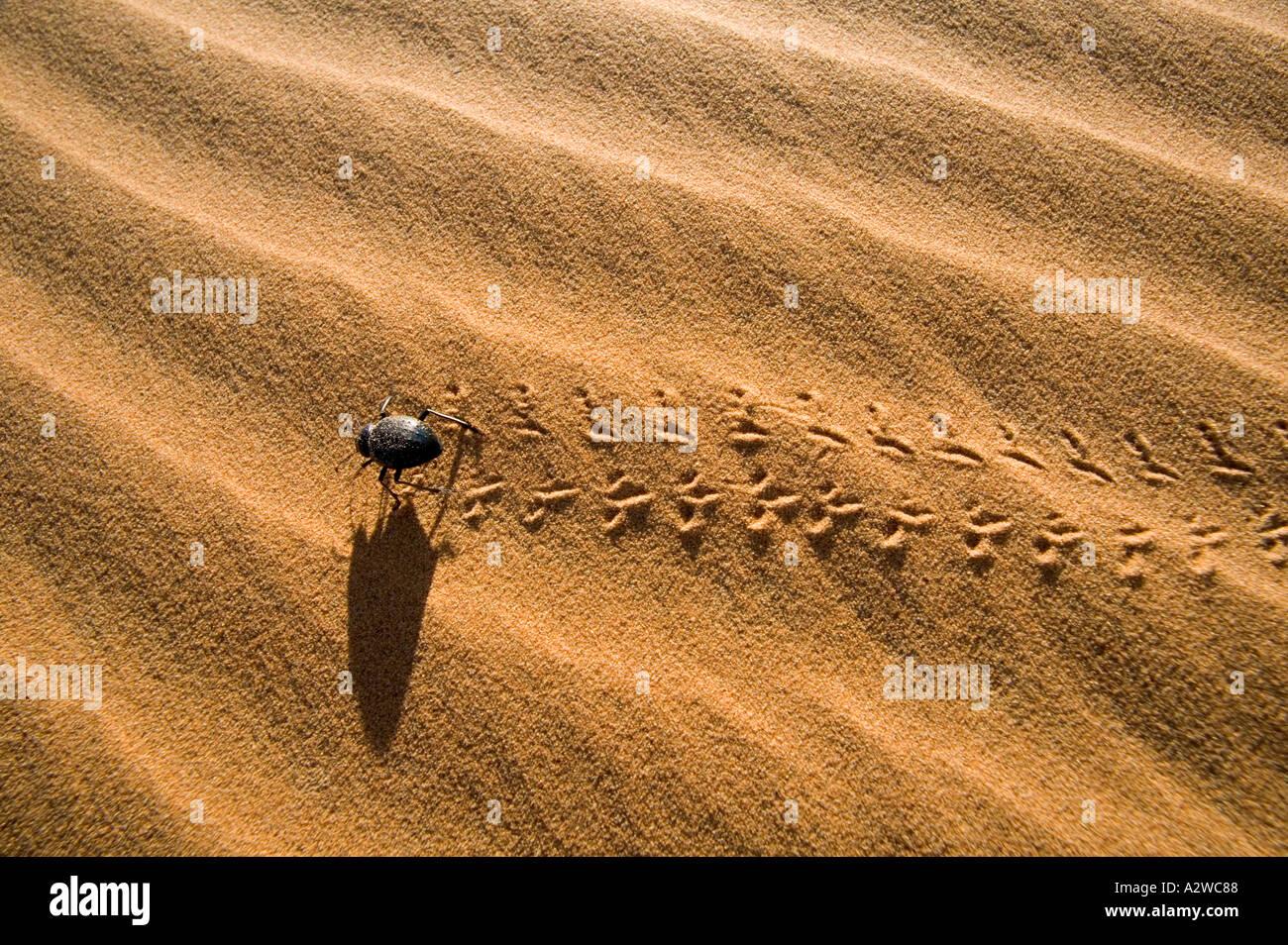 Desierto de la familia de escarabajos Tenebrionid viven y se alimentan en las dunas de arena a lo largo de África Imagen De Stock