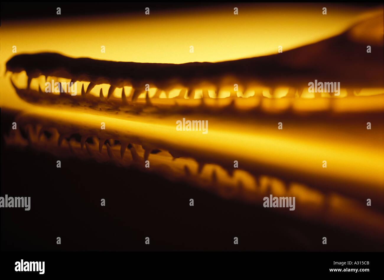 Mandíbulas de cocodrilo 0038 Foto de stock