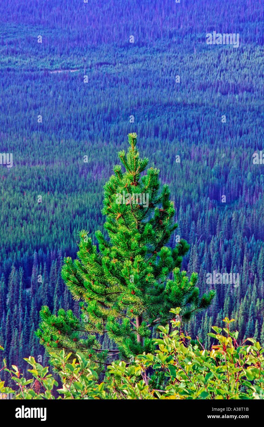Árbol de pino 50 Imagen De Stock