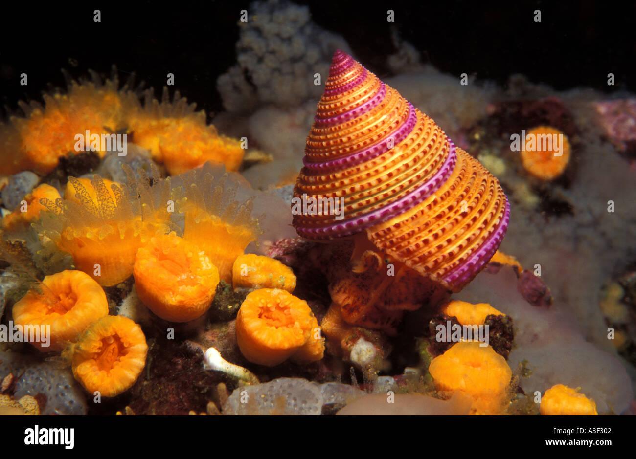 Foto FN 289 morado Caracol annulatum Calliostoma superior Photo Copyright Brandon Cole Imagen De Stock