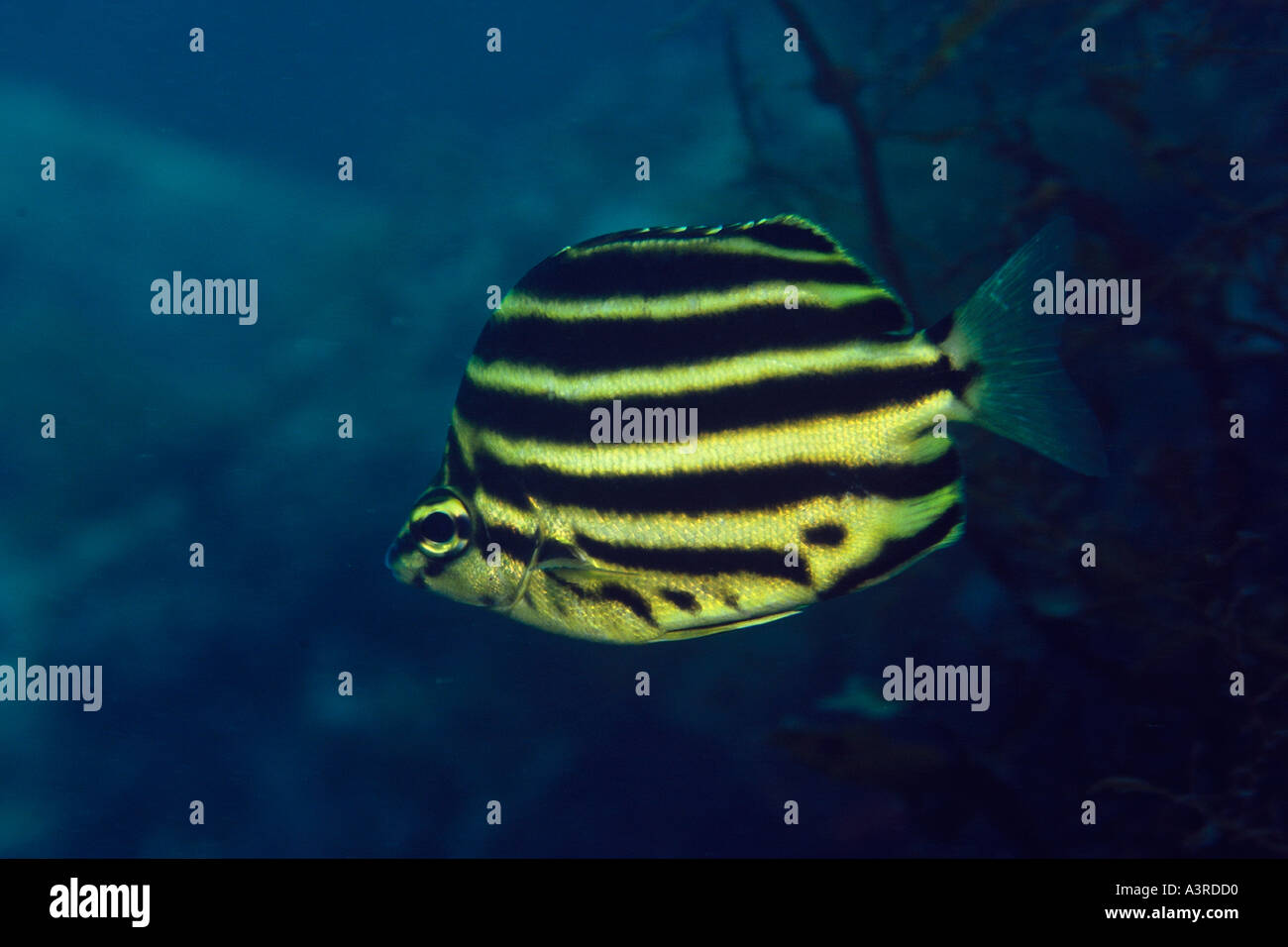 Stripey Microcanthus strigatus Seopsom Isla Jeju Do Mar Oriental de Corea del Sur Imagen De Stock